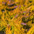 Calluna vulgaris 'Golden Feather'