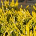Calluna vulgaris 'Hannover'