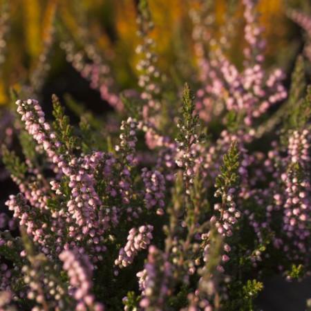 Calluna vulgaris 'Miriam'