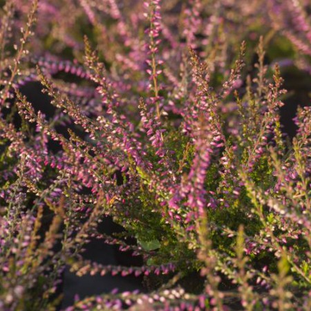 Calluna vulgaris 'Redbud'