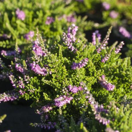 Calluna vulgaris 'Sister Anne'