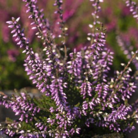 Calluna vulgaris 'Underwoodii'