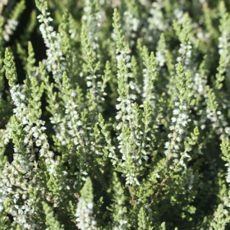 Calluna vulgaris 'Velvet Fascination'