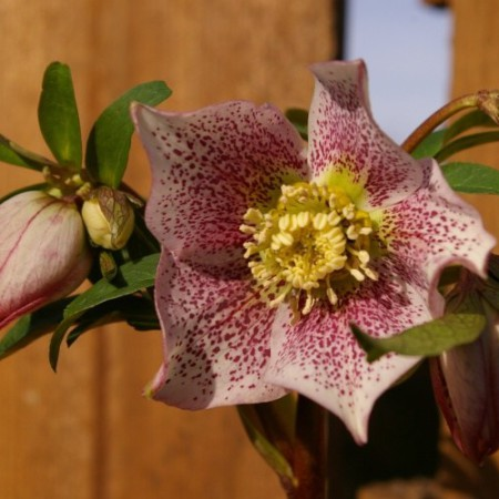 Helleborus orientalis Hybr. 'Guttatus Rosa'
