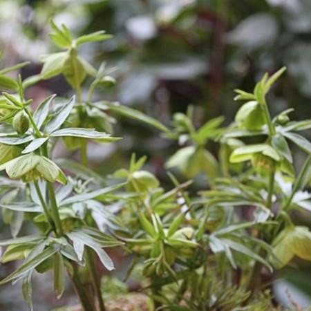 Helleborus multifidus ssp. hercegovinus