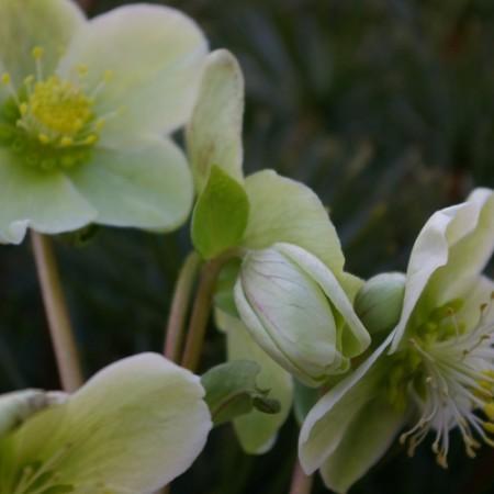 Helleborus nigercors 'Snow Love'