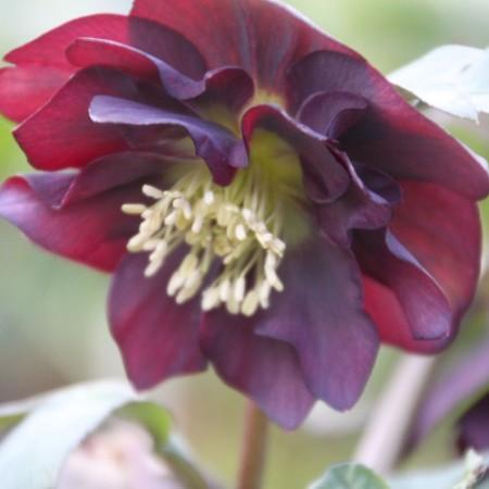 Helleborus orientalis Hybride 'Schwarz Gefüllt'