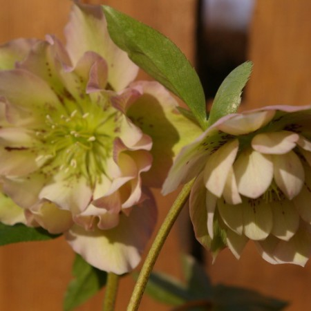 Helleborus torquatus Hybride 'Party dress'
