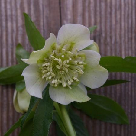 Helleborus orientalis Hybr. 'Anemonenblütrig Weiß'