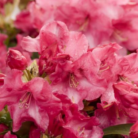 Rhododendron williiamsianum 'Gartendirektor Glockner'