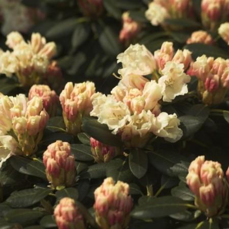 Rhododendron yakushimanum 'Marietta'