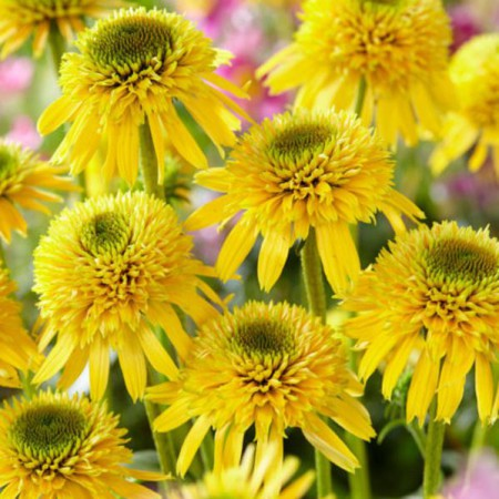 Echinacea 'Eccentric Yellow' ®