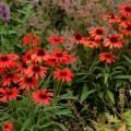 Echinacea 'Dixie Scarlet'