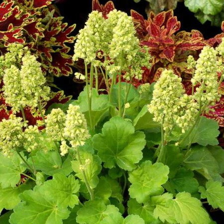 Heuchera 'Blondie in Lime'