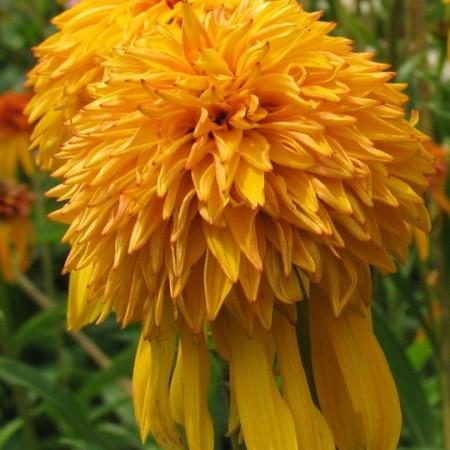 Echinacea 'Pinneapple Sundae'