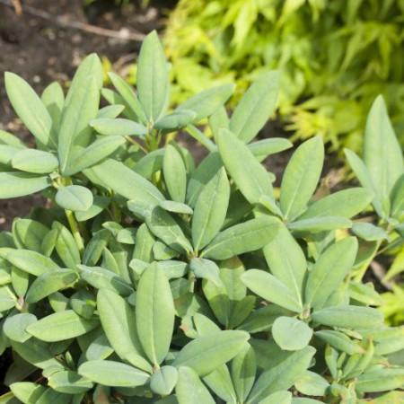 Rhododendron campanulatum ssp. aeruginosum 'Blauschimmer'