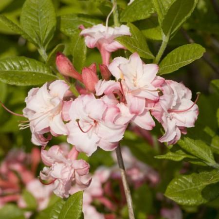 Rhododendron luteum 'Corneille'