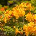 Rhododendron luteum 'Csárdás'