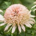 Echinacea 'Cherry Fluff'