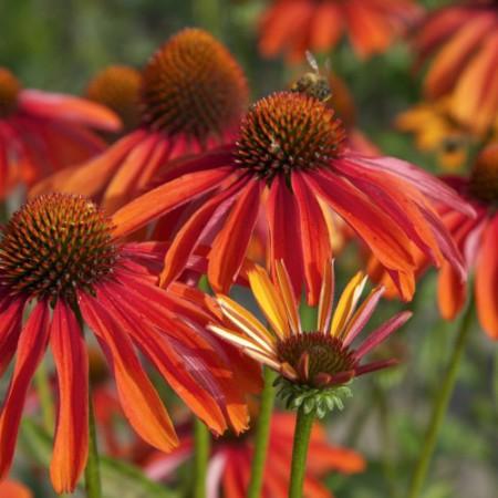 Echinacea 'Summer Fire' ®