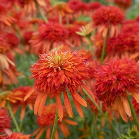 Echinacea 'Summer Salsa' ®