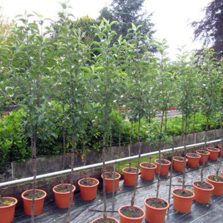 Malus 'Wellant' ® Fresco