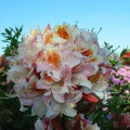 Rhododendron occidentale 'Jock Brydon'
