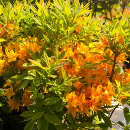 Rhododendron prinophyllum'Apricot Surprise'
