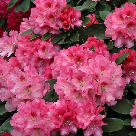 Rhododendron yakushimanum'Tina Heinje'
