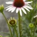 Echinacea 'Pink Tip'