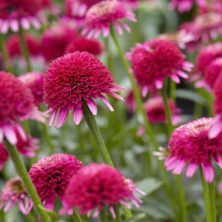 Echinacea 'Sweet Sixteen'