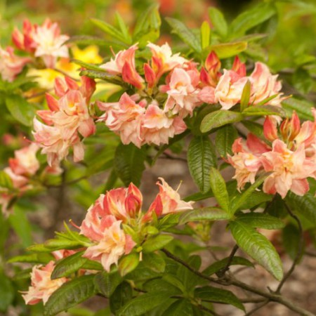 Rhododendron luteum 'Cannon's Double'