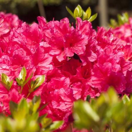 Rhododendron obtusum 'Drapa' ®