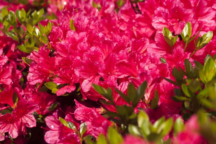 rhododendron obtusum 39 drapa 39 azalee baumschule nielsen. Black Bedroom Furniture Sets. Home Design Ideas