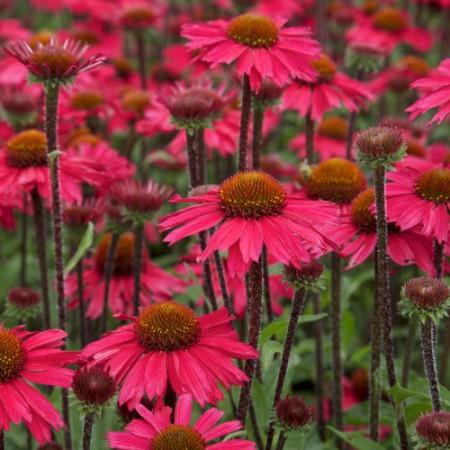 Echinacea 'Sensation Pink' ®