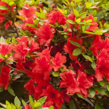 Rhododendron obtusum 'Elfie'