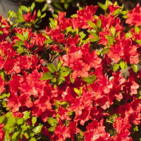Rhododendron obtusum 'Evita'