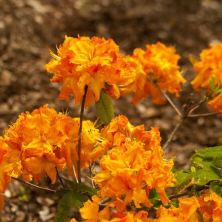 Rhododendron luteum 'Goldflamme'