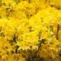 Rhododendron mixtum 'Sonnenköpfchen'