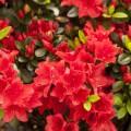 Rhododendron obtusum 'Racoon'