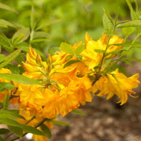 Rhododendron luteum 'Sun Star'