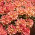 Rhododendron yakushimanum 'Valencia'