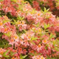 Rhododendron viscosum 'Quiet Thoughts'