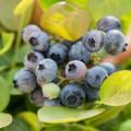 Vaccinium corymbosum 'Peach Sorbet' ® Brazelberry ®