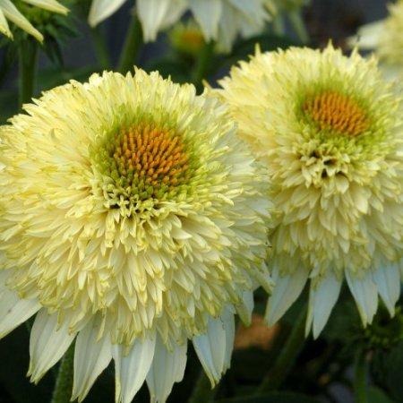 Echinacea 'Puff® Vanilla'