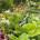 Hosta und Echinacea