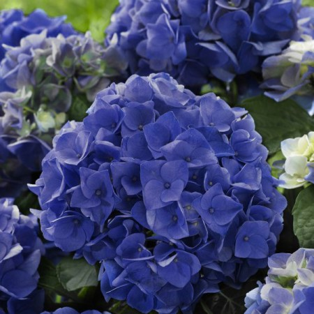 Hydrangea 'Blue Boogie Woogie' ® Music Collection ®