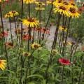 Echinacea 'Funky Yellow' ®