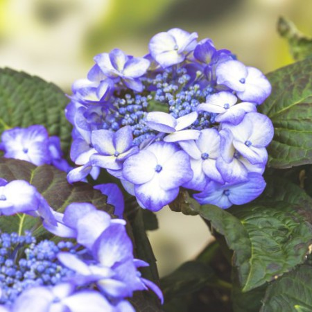 Hydrangea 'Blue Baby Blues' ® Music Collection ®