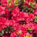 Rhododendron obtusum 'Maraschino' ®